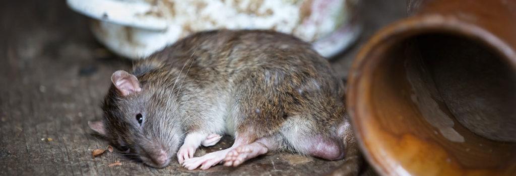 Ratten Der Feind In Ihrem Keller Und Gebaude Nebily Ges M B H